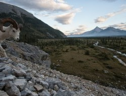 An inquisitive Dall sheep in the Peel Watershed © Peter Mather -