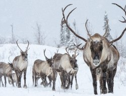 The Porcupine Caribou Herd makes its annual journey through the Peel © Peter Mather -