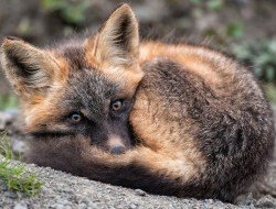 A red fox pup wakes from a nap near its den at the headwaters of the Peel watershed © Peter Mather -