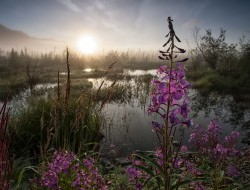Fireweed blooms in a wetland on the Wind River © Peter Mather -